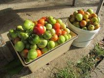 Cosecha rica de tomates con sus propias manos imagen de archivo