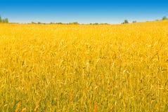 Cosecha rica del trigo Foto de archivo