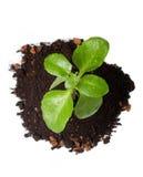 Cosecha verde apacible en suelo Imágenes de archivo libres de regalías