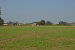 Cosecha verde del panorama del trigo fotos de archivo libres de regalías