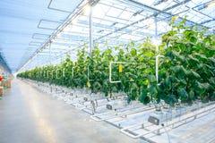 Cosecha verde en invernadero moderno Fotografía de archivo