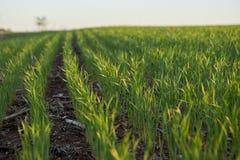 Cosecha verde fresca joven de la granja en luz de oro Imagen de archivo