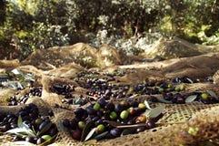 Cosecha verde oliva imagenes de archivo
