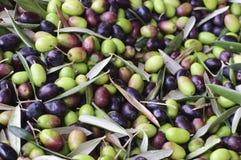 Cosecha verde oliva Fotos de archivo