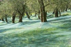 Cosecha verde oliva Foto de archivo