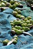 Cosecha verde oliva Imagen de archivo