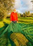 Cosecha verde oliva Imagen de archivo libre de regalías
