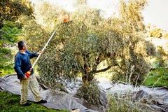 Cosecha verde oliva, aceitunas de la cosecha del hombre con el rastrillo verde oliva foto de archivo libre de regalías