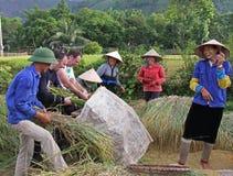 Cosecha Vietnam del arroz imagen de archivo libre de regalías
