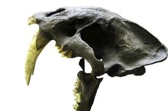 cosechado en un cráneo blanco del fondo de Saber Tooth Tiger Proof real ese dinosaurios con la trayectoria de recortes Foto de archivo