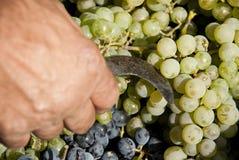 Cosechando, ennegrezca las uvas, manojos de uvas, uvas blancas, herramienta para cosechar imagen de archivo
