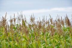 Cosechas agrícolas imagen de archivo libre de regalías