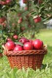 cosechas de la manzana Imagenes de archivo