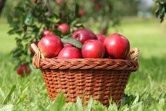 cosechas de la manzana Fotografía de archivo libre de regalías