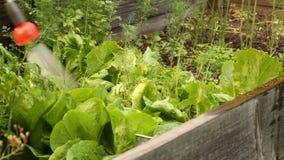 Cosechas de riego de la ensalada con la lanza del espray de agua en jardín almacen de metraje de vídeo