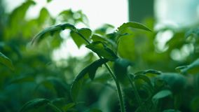 Cosechas de tomates metrajes