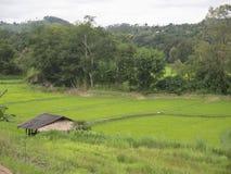 Cosechas del arroz de Tailandia en Mae Hong Son Fotos de archivo libres de regalías