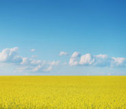 Cosechas del Canola en el cielo azul Fotos de archivo