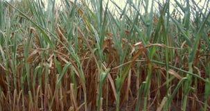 Cosechas en las tierras verdes de las granjas de los fondos y de los papeles pintados hermosos de la naturaleza de la ciudad metrajes