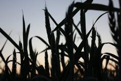Cosechas en puesta del sol Foto de archivo libre de regalías