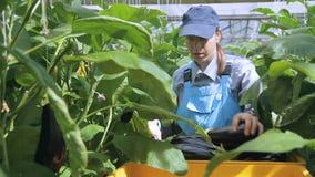 Cosechas femeninas del agrónomo de berenjenas en complejo industrial agro almacen de video