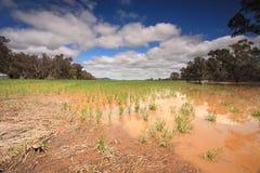 Cosechas inundadas en NSW del oeste central Fotografía de archivo libre de regalías