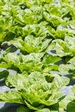 Cosechas verdes Foto de archivo