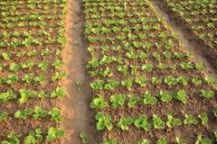 Cosechas verdes de la lechuga en crecimiento Foto de archivo libre de regalías