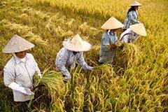 Coseche el arroz Foto de archivo libre de regalías