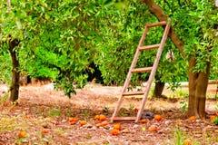 Coseche en árboles de fruta cítrica anaranjados en el jardín y una escalera fotografía de archivo