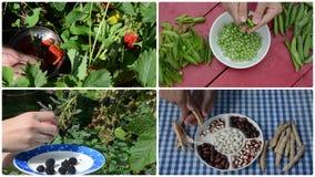 Coseche la baya y los guisantes y las habas de la legumbre en jardín Acorta el collage metrajes