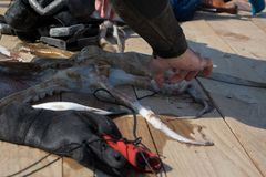 Coseche la opinión el hombre adulto del buceador en una costa con el engranaje spearfishing y el pulpo recién pescado imagen de archivo