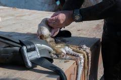 Coseche la opinión el hombre adulto del buceador en una costa con el pulpo recién pescado y el engranaje spearfishing imagen de archivo