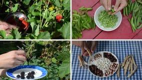 Coseche las bayas y los guisantes y las habas de la legumbre en jardín collage almacen de metraje de vídeo