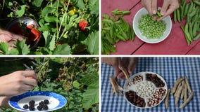 Coseche las bayas y los guisantes y las habas de la legumbre en jardín collage almacen de video