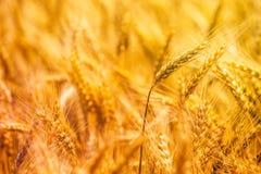 Coseche los oídos listos del triticale, el híbrido del trigo y el centeno fotos de archivo