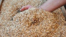 Coseche, mano del ` s del granjero que sostiene granos de avena almacen de metraje de vídeo