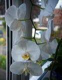 Coseup της ανθίζοντας άσπρης ορχιδέας phalaenopsis στη στρωματοειδή φλέβα παραθύρων Σπίτι που καλλιεργεί, εξωτικές εγκαταστάσεις στοκ εικόνες