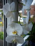Coseup of blooming white phalaenopsis orchid on window sill. House gardening, exotic plant stock images