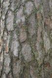 Coseup d'écorce de pin Photo libre de droits