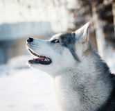 Coseup husky in winter Royalty Free Stock Image