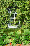 Coseup on a window surrounder by grapes vine. Royalty Free Stock Photography