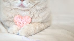 Cosiness, love, Valentine's Day concept. Pink heart in the paws of cat close up. The Scottish cream tabby cat with pink heart in stock photos