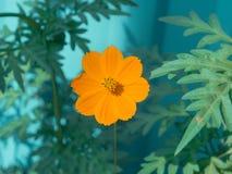 Cosmai dell'arancia del fiore Fotografie Stock