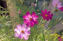 Cosmea庭院 夏天花和绿色 免版税库存照片