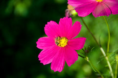 Cosmea Stock Photo