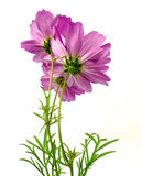 Cosmea Images stock