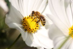 Cosmea with bee Stock Photo