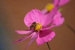 Cosmea  cosmos with bee Royalty Free Stock Photos