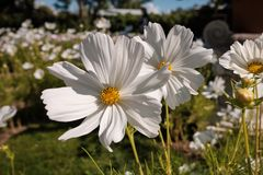 Cosmea, or Cosmos lat. Cósmos is a genus of annual and perennial herbaceous plants of the Aster family, or Compositae. Asteraceae. Large field with flowers stock photography